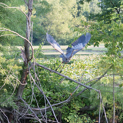 Great Blue Heron (Mike Matney Photography) Tags: 2017 canon eos6d forestpark midwest missouri september bird birds nature outdoors wildlife greatblueheron stlouis unitedstates us