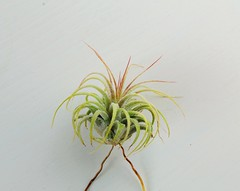 Tillandsias Ionantha var. stricta ( from 2016 and two from 2017) (hug0ncalves) Tags: tillandsias ionantha stricta fuego air plants bromeleacea rare photography details macro nature flickr caput medusae babys botanical