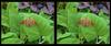 Longwood Gardens - Epargyreus clarus - Silver-spotted Skipper 2 - Parallel 3D (DarkOnus) Tags: parallel pennsylvania buckscounty panasonic lumix dmcfz35 3d stereogram stereography stereo darkonus closeup macro insect longwood gardens epargyreus clarus silverspotted skipper butterfly