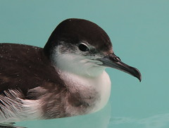Audubon's Shearwater (c) Michael M Brothers 2017 All rights reserved.
