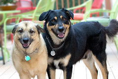 I Like Big Mutts (Mimi Ditchie) Tags: cammie diesel dog dogs adopted woodshumanesociety mutts mutt rescues woods sanluisobispo