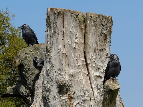 Three Jackdaws on a Tree Stump