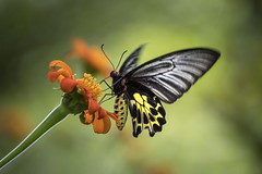 Birdwing Butterfly On Mexican Sunflower (ulli_p) Tags: asia blossoms butterflys canon750d bokeh earthasia flickraward isan insects light macro nature ruralthailand southeastasia thailand commonbirdwing