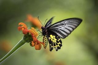 Birdwing Butterfly On Mexican Sunflower