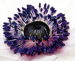 Zentrum einer Blüte (michaelschneider17) Tags: natur blüten pflanzen