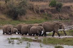 NKN_2305_tn (UmitCukurel) Tags: narokcounty kenya greatmigration zebra lion lioness africa masimara crocodile giraffe hyena hunt wildlife nikon d500 wildebeest river maratriangle thomsongazelle impala topi maraboustork vulture camp