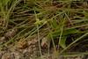 Habenaria rariflora (22) (siddarth.machado) Tags: deccanplateauflora deccanplateau flora deccanflora rockyoutcrops wild wildplants karantaka savandurga