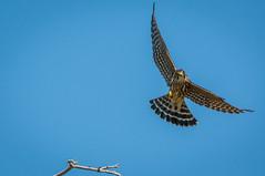 Merlin (phoca2004) Tags: bassharbormarsh bird birdofprey d90 falcocolumbarius maine merlin mountdesertisland nikon immature sky acadianationalpark