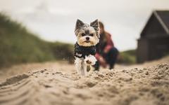 Beach time (codeseven) Tags: sylt beach hurtta yorkie biewer running action dog smalldog yorkshire terrier animal nature sand bokeh detail