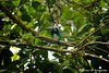 Golden-hooded Tanager (obarrantes) Tags: heredia costarica cr