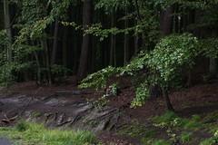 Am Wegesrand (meine.augenblicke) Tags: deutschland nature germany wald natur oaks forrest trees eichen 2017 ostsee rügen jasmund urlaub mecklenburgvorpommern island balticsea buchen bäume beeches insel kameranikond750 sassnitz de