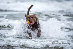 Sea fun! (stagenutuk) Tags: dog dogs dogsplaying doginsea dogplayinginsea westwardho northdevon beach sea coast waves wave nikond7200 tamron150600mmlens