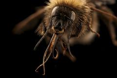 Bombus hortorum, m , face, Christchurch, New Zealand_2017-05-30-17.46 (Sam Droege) Tags: zerenestacker stackshot geologicalsurvey unitedstatesgeologicalsurvey departmentoftheinterior droege biml beeinventoryandmonitoringlaboratory bug bugs canon closeup macro insect patuxentwildliferesearchcenter pwrc usgs dofstacking stacking entomologist canonmpe65 taxonomy:binomial=bombushortorum animals animal bee bees apoidea hymenoptera pollinator nativebee entomology macrophotography newzealand kiwi bumblebee introduced clover