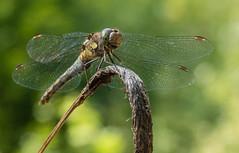 0089 (134) (Zana Benson) Tags: commondarterdragonfly