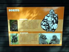 rotterdam_4_153 (OurTravelPics.com) Tags: rotterdam explanation western lowland gorilla bokito africa area diergaarde blijdorp zoo