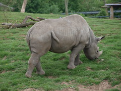 Chester Zoo (Nigel Swales - 2) Tags: blackrhinoceros rhinoceros chesterzoo