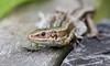 Common lizard (kimbenson45) Tags: animal brown closeup commonlizard differentialfocus lizard macro nature outdoors reptile shallowdepthoffield viviparous wildlife