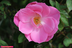 rose (Balaji Photography - 4,000,000 Views and Growing) Tags: flower flora flowers flowermacro floraandfauna flowergarden flowerscolors flowering canon canondslr canoneos canon600d canon70d lovely wow excel pleasing