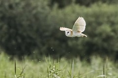 Barn Owl July (Doyleecart Photography) Tags: owl barnowl hamwall rspb ngc nature birdofprey mendip westcountry england uk europe