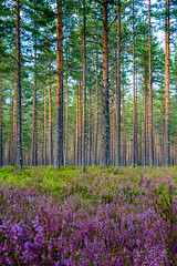 Colorful forest (B.AA.S.) Tags: commonheather forest farger skog scene scenics norway norge nature natur pine tree trees travel trær tre buskerud beautyinnature plant day august summer 2017 vertical