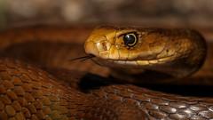 Coastal Taipan (Oxyuranus scutellatus) (elliotbudd) Tags: coastal taipan oxyuranus scutellatus elapid elapidae venom venomous deadly snake qld queensland townsville elliot budd eastern