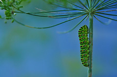 Papilio Machaon Caterpillar (natureloving) Tags: papiliomachaoncaterpillar macro insect nature natureloving nikon d90 afsvrmicronikkor105mmf28gifed swallowtailcapterpillar animalplanet
