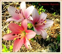 Rosa Lillien (Bernsteindrache7) Tags: spring rosa flora fauna flower garden bloom blossom blume handy outdoor landscape