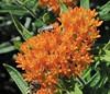 Bayley Beach Pollinators (caboose_rodeo) Tags: 7207 rowaytongardeners norwalkct butterflyweed flowers bayleybeachrowaytonct