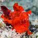 Painted Frogfish, juvenile - Antennarius pictus