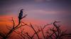 20170725-025a-Corroboree Billabong Sunrise Tour-Flickr.jpg (Brian Dean) Tags: australiandarter flickrposted sunrise nt caravaning slideshow corroboreebillabong birds facebook 2017tour portfolio natnaturetrophyforprojectedimages