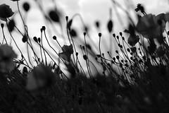 Poppies (allan-r) Tags: poppies bw flowers silhouettes fujifilm xt2 xf35mm 35mm