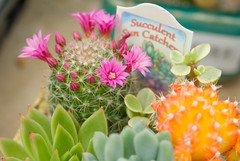 Succulents 4 Sale (Lady Riven) Tags: flora plants succulents succulent nature outdoors colorful bright cute cactus cacti orange pink flowers green plant garden