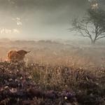 Curious Highland Cow thumbnail