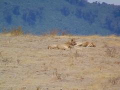 DSC00300 (francy_lioness) Tags: safari jeep animals animali ippopotami leone savana gnu elefante iena pumba tanzaniasafari ngorongorocratere gazzella antilope leonessa lioness facocero