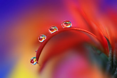 For four (Marilena Fattore) Tags: canon 6d colors water drops fantasy nature closeup focus petals floralart reflection bokeh droplet red yellow blue flores daisy gerbera flower garden light softflowers onlyflowers macrophotography