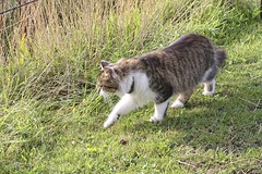 Cat on the move (gill4kleuren - 20 ml views) Tags: kitty cat little young playing fun kat pet animal collage pussycat pussy poezen poes outdoor hair eyes mammal indoor people kitten puss chat mieze katje gato gata gatto katze kater photoadd mouse moments jong minou gatta photo weer weather day kiity cloudy storm wind rain forcast humidity visibility colors yoga bad sky