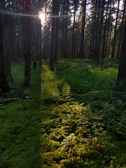 equisteum horsetail хвощ sunlight sunset marsh forest bog... (Photo: The Man-Machine on Flickr)