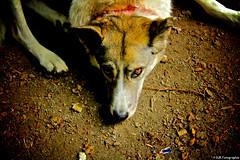 Leika (DJR-FOTO) Tags: dog hund zweiaugenfarben tier draussen braun animal pet haustier wallpaper hd 4k uhd fullhd charming awsome