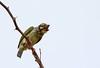 Coppersmith barbet (Psilopogon haemacephalus) (Ajay..) Tags: tamilnadu chennai thiruvanmiyur india beach strand plage spiaggia praia playa birding bird birds uccelli uccello aves vögel vogel avian oiseaux pássaro pájaros inde indian indien nature natur natura naturaleza natureza natuur barbet barbetto barbudo kupferschmiedbartvogel kobbersmed barbu kopersmid barbuàplastronrouge barbudocalderero barbettoramatore barbudodepeitovermelho