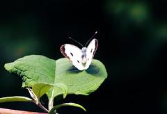 Large White Female (Fr Paul Hackett) Tags: butterfly leaves sunshine serene