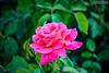 Gül (zulkifaltin) Tags: konya gezi 80 binde devri alem park gül pembe kırmızı red pink rose leaf yaprak yeşil green love