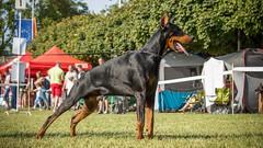 Inring attention (zola.kovacsh) Tags: outside outdoor animal pet dog show exhibition cacib dobermann doberman pinscher
