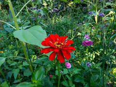 Red Zinnia (Elise de Korte) Tags: fr france frankrijk ldf lafrance bloei bloeien bloem bloemen fleur fleurs flower flowers garden groentetuin jardin moestuin plant potager tuin vegetablegarden veggiegarden zinnia