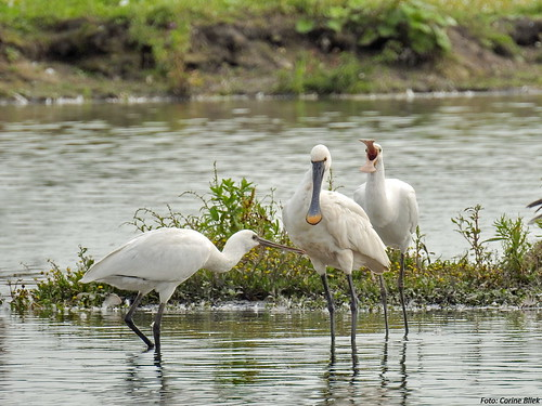 Spoonbill with very demanding young