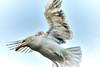 DSC_4033 (SeymourWithem) Tags: chip thief seagull eye beady new quay