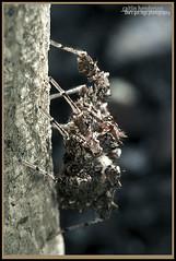 Fringed Jumping Spider (Portia fimbriata) (caitlinhenderson) Tags: spider spiders arachnid arachnids macro wildlife bug bugs minibeast minibeasts jumping hunting australia australian canon canon7d