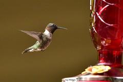 Hummingbird_8214 (Porch Dog) Tags: 2017 garywhittington kentucky hummingbird nikond750 nikkor200500mm wildlife nature birdfeeder backyard outdoors littlebird