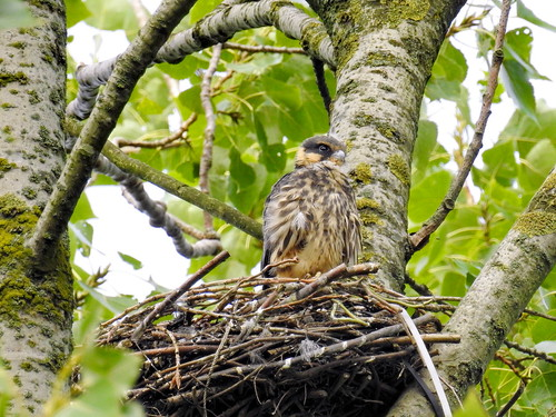 Juvenile Hobby on a nest