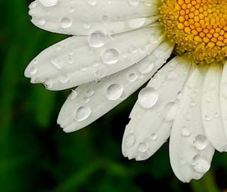 Daisy.....Sun after the rain again.....