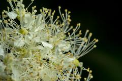Stamen Mikado , (jwzw@ymail.com) Tags: spring flower floral garden blossom botanical pollen bloom flowering blooming